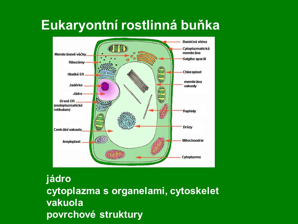 Eukaryontní rostlinná buňka jádro cytoplazma s organelami, cytoskelet vakuola povrchové struktury