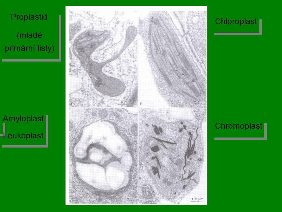 Proplastid (mladé primární listy) Proplastid (mladé primární listy) Amyloplast Leukoplast Amyloplast Leukoplast Chromoplast Chloroplast