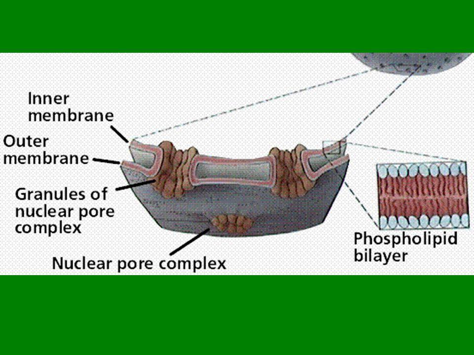 vnitřní strana tylakoidních membrán – chlorofyl, světelná fáze stroma – temnostní obsahují zrníčka škrobu a kapénky lipidů Jeden – stovky v buňce