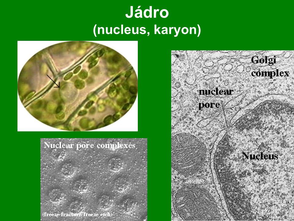soustava diktyozomů - rozvětvených do řady tubulů.