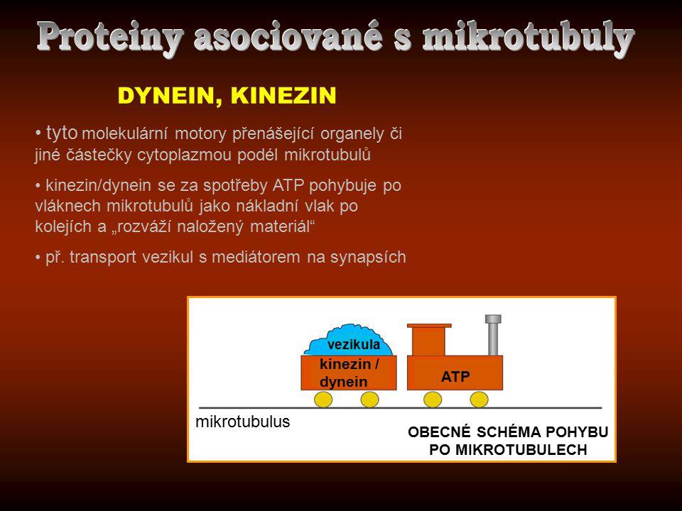 DYNEIN, KINEZIN tyto molekulární motory přenášející organely či jiné částečky cytoplazmou podél mikrotubulů kinezin/dynein se za spotřeby ATP pohybuje