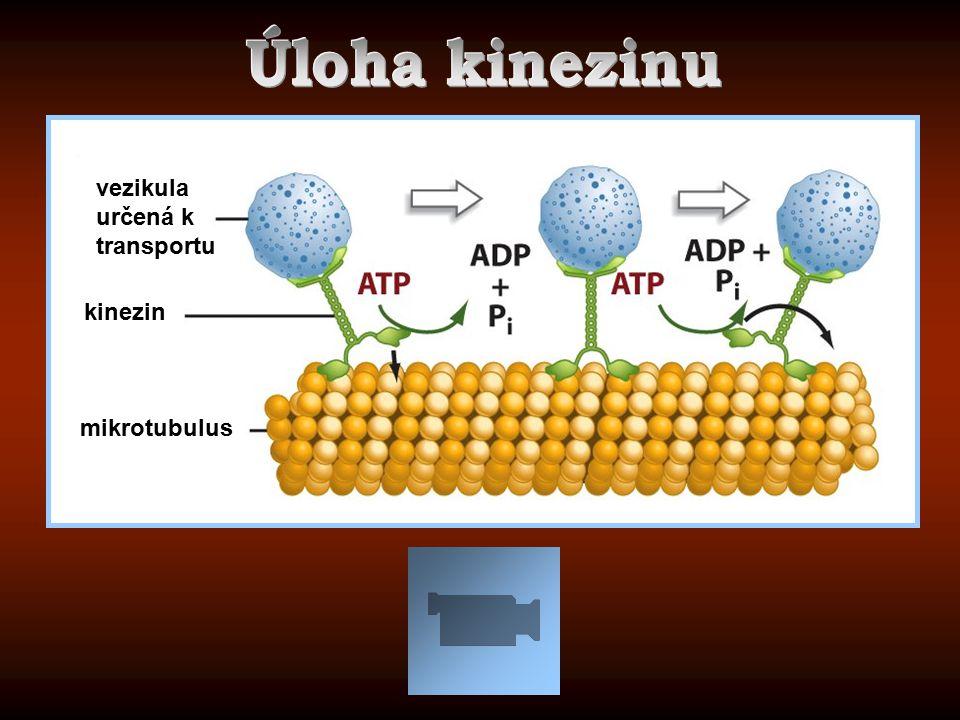 vezikula určená k transportu kinezin mikrotubulus