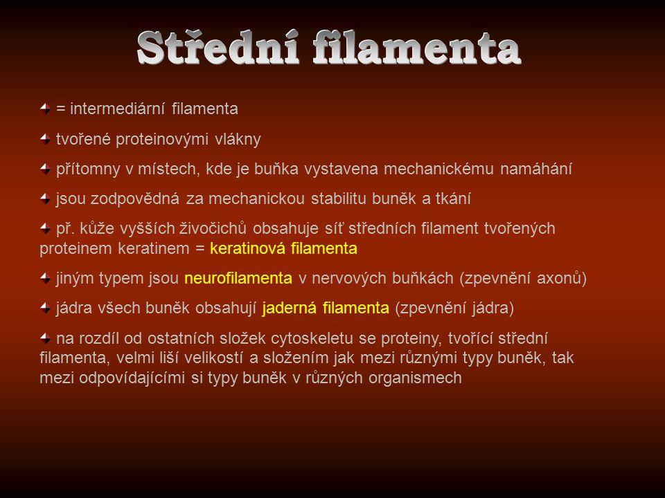 = intermediární filamenta tvořené proteinovými vlákny přítomny v místech, kde je buňka vystavena mechanickému namáhání jsou zodpovědná za mechanickou