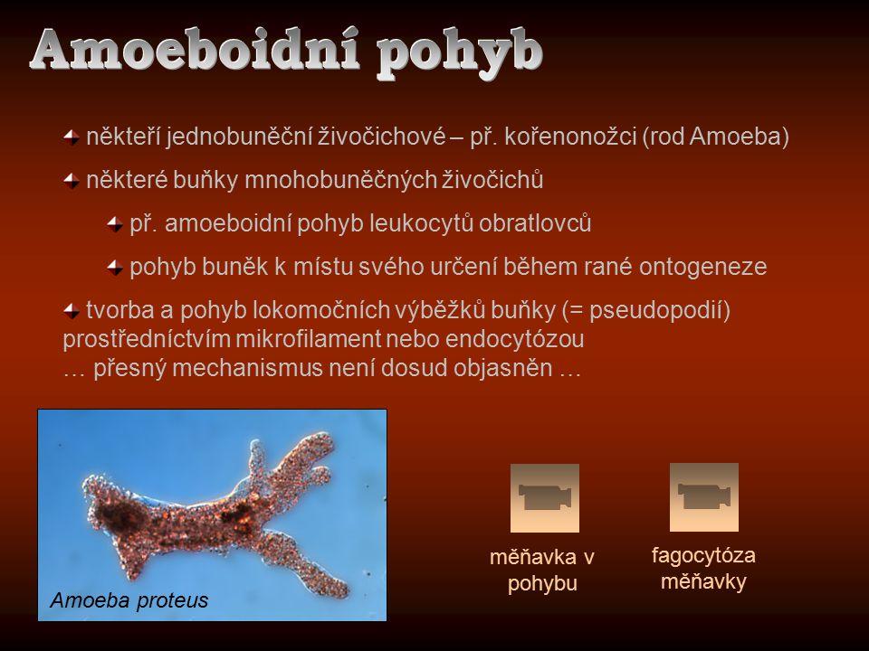 někteří jednobuněční živočichové – př. kořenonožci (rod Amoeba) některé buňky mnohobuněčných živočichů př. amoeboidní pohyb leukocytů obratlovců pohyb