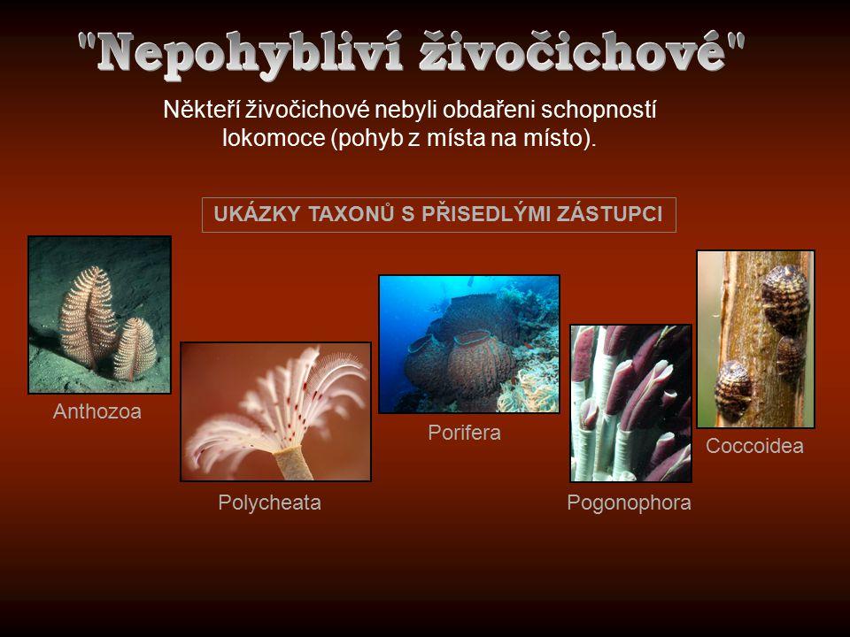 Někteří živočichové nebyli obdařeni schopností lokomoce (pohyb z místa na místo). Pogonophora Porifera Anthozoa Coccoidea Polycheata UKÁZKY TAXONŮ S P