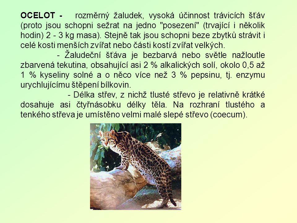 OCELOT - OCELOT - rozměrný žaludek, vysoká účinnost trávicích šťáv (proto jsou schopni sežrat na jedno posezení (trvající i několik hodin) 2 - 3 kg masa).