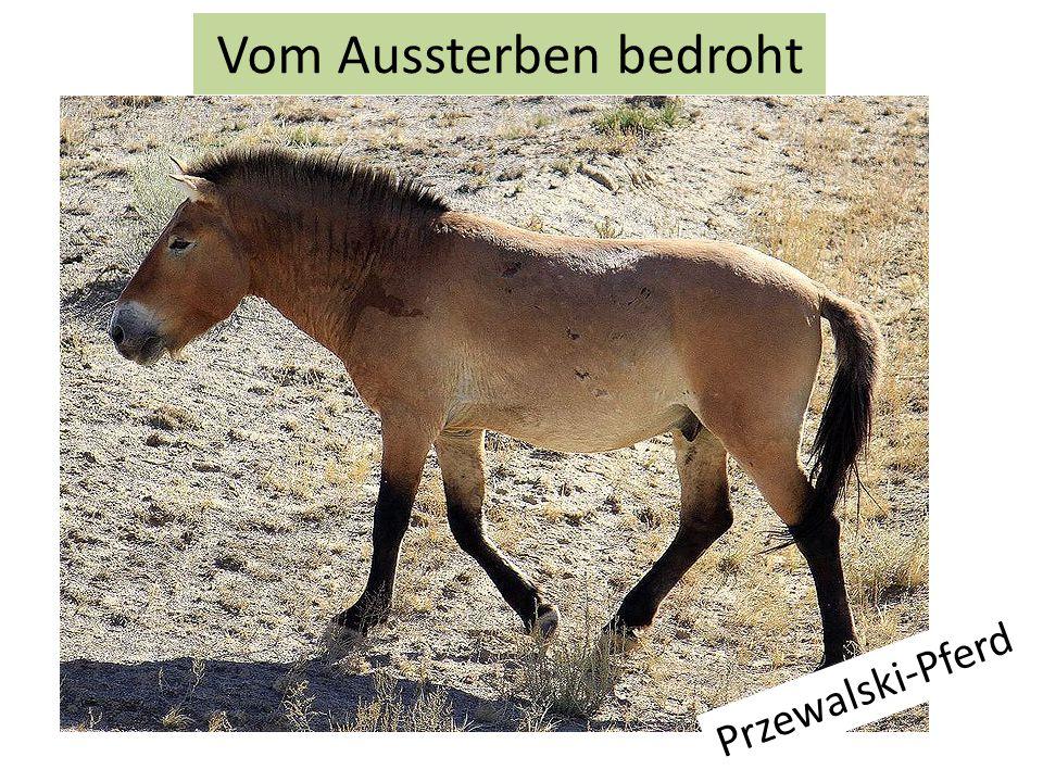 Przewalski-Pferd Vom Aussterben bedroht