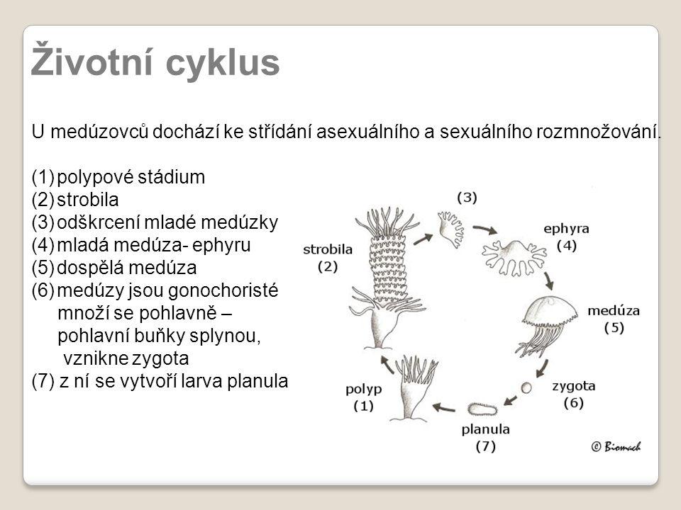 Životní cyklus U medúzovců dochází ke střídání asexuálního a sexuálního rozmnožování. (1)polypové stádium (2)strobila (3)odškrcení mladé medúzky (4)ml