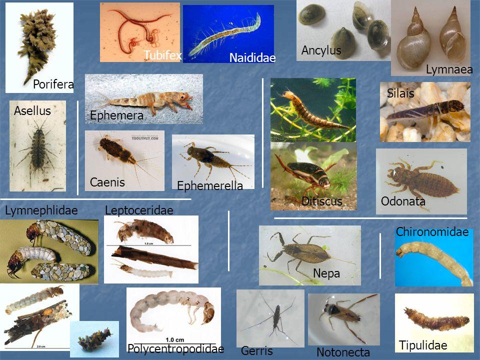 Tubifex Naididae Porifera Lymnaea Ancylus Asellus Ephemera Ephemerella Caenis LeptoceridaeLymnephlidae Polycentropodidae Silais Ditiscus Tipulidae Chi