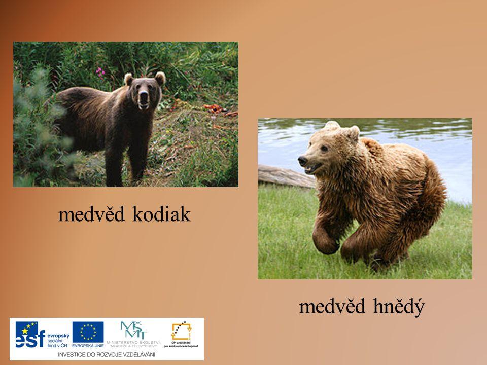 medvěd kodiak medvěd hnědý