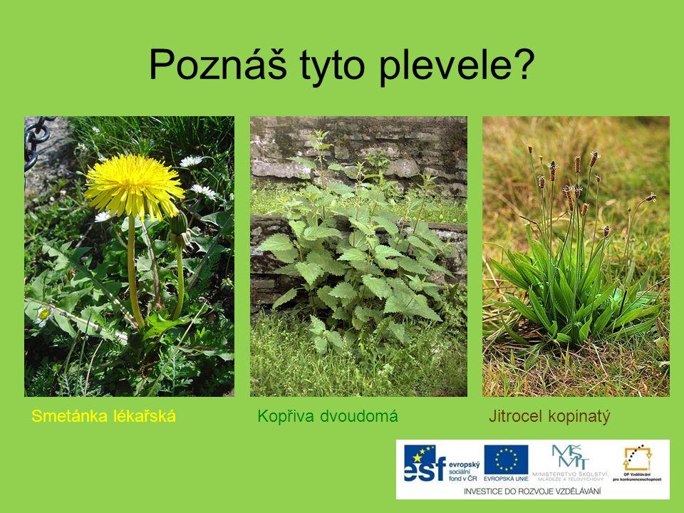 Poznáš tyto plevele? Sedmikráska Podběl lékařský Popenec
