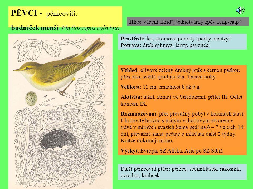 PĚVCI - pěnicovití: budníček menší Phylloscopus collybita Další pěnicovití ptáci: pěnice, sedmihlásek, rákosník, cvrčilka, králíček Prostředí: les, stromové porosty (parky, remízy) Potrava: drobný hmyz, larvy, pavoučci Vzhled: olivově zelený drobný pták s černou páskou přes oko, světlá spodina těla.