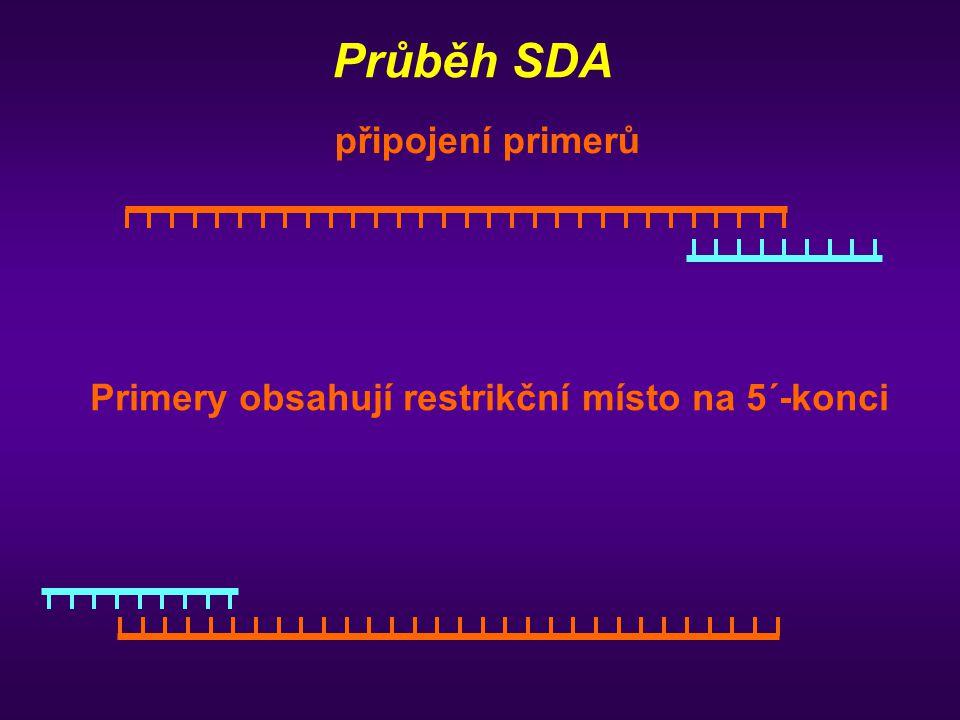 Průběh SDA připojení primerů Primery obsahují restrikční místo na 5´-konci