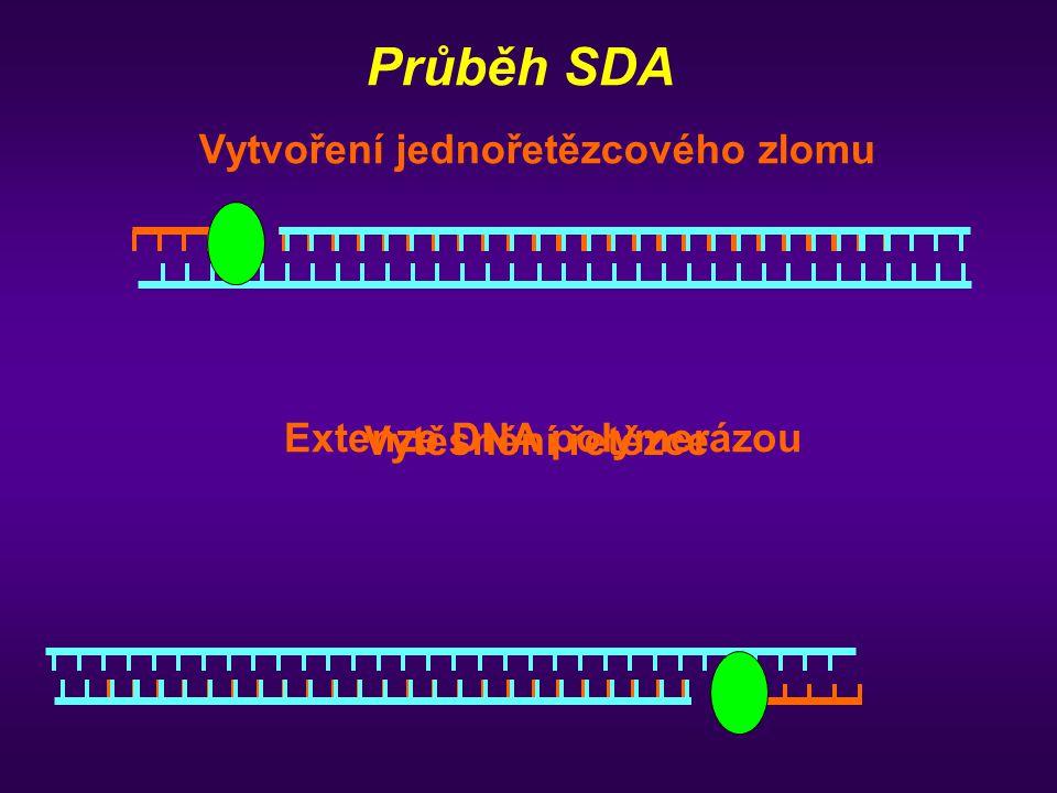 Průběh SDA Vytvoření jednořetězcového zlomu Extenze DNA polymerázou Vytěsnění řetězce