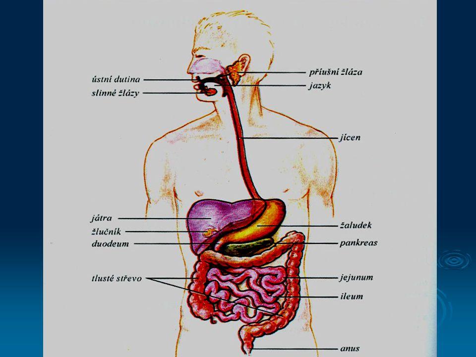 Stavba stěny trávicí trubice  Vnitřní vrstva  tvoří ji sliznice – mukóza  produkuje hlen (mucin)  Podslizniční vrstva  tvoří ji submukóza  obsahující krevní cévy, nervovou pleteň (plexus submucosus Meissneri) a žlázky odpovídající za sekreci trávicích enzymů  Vnitřní vrstva svaloviny  tvoří ji cirkulární svalovina  místní pohyby  Vnější vrstva svaloviny  tvoří ji svalovina podélná  peristaltické pohyby  mezi dvěma vrstvami svaloviny je další nervová pleteň (plexus myentericus Auerbachi)  Serózní blána  její pomocí se přivádí k trávicí trubici cévy (arterie, žíly,lymfatické cévy)  v dutině bříšní je tvořená peritoneem