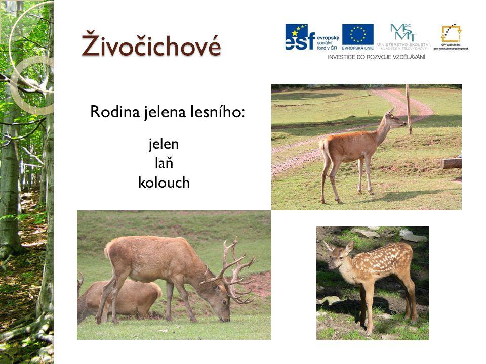 Dendrocopos medius (Marek Szczepanek).jpg.In: Wikipedia: the free encyclopedia [online].