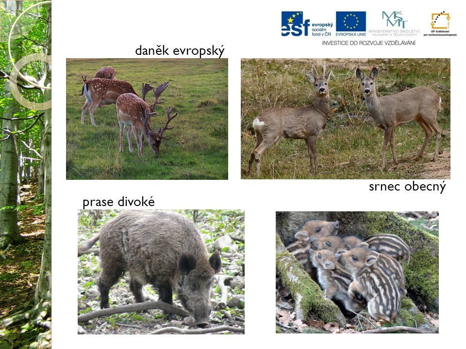 Abies alba Slovakia.jpg.In: Wikipedia: the free encyclopedia [online].