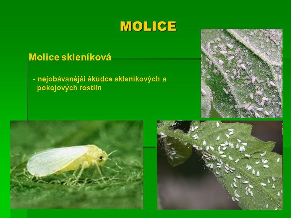 MOLICE Molice skleníková - nejobávanější škůdce skleníkových a pokojových rostlin