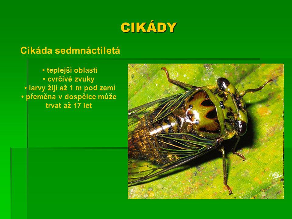 CIKÁDY Cikáda sedmnáctiletá teplejší oblasti cvrčivé zvuky larvy žijí až 1 m pod zemí přeměna v dospělce může trvat až 17 let