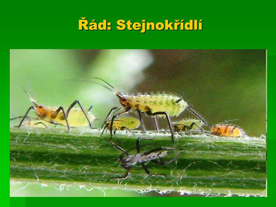 škůdce rostlin – saním šťáv, přenosem virových chorob a tvorbou škůdce rostlin – saním šťáv, přenosem virových chorob a tvorbou medovice – přebytečná cukerná šťáva medovice – přebytečná cukerná šťáva drobný hmyz s měkkým tělem drobný hmyz s měkkým tělem dva páry blanitých křídel, samice často bezkřídle dva páry blanitých křídel, samice často bezkřídle ústní ústrojí bodavě sací ústní ústrojí bodavě sací létají pouze na krátké vzdálenosti létají pouze na krátké vzdálenosti někteří žijí přisedle někteří žijí přisedle proměna nedokonalá proměna nedokonalá