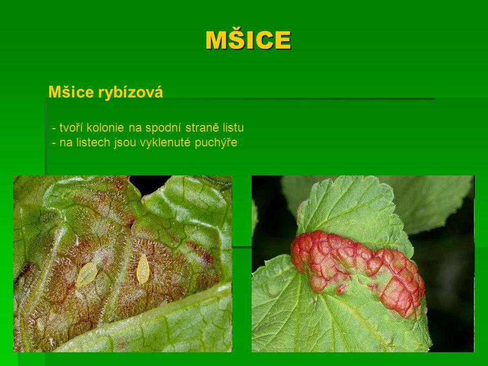 MŠICE Mšice rybízová - tvoří kolonie na spodní straně listu - na listech jsou vyklenuté puchýře