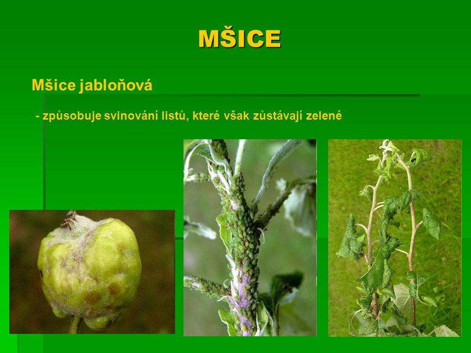MŠICE Mšice třešňová - listy žloutnou nebo červenají a opadávají