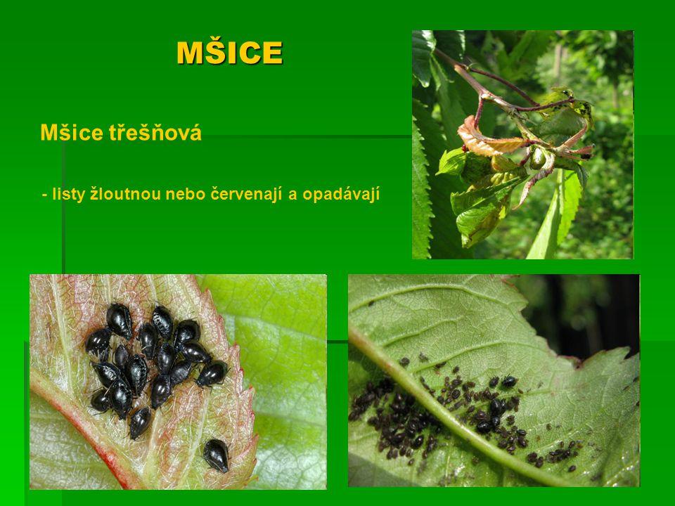 MŠICE Mšice švestková - listy zasychají a opadávají