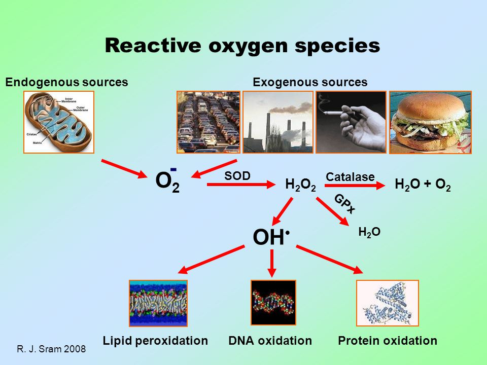 Reactive oxygen species Endogenous sourcesExogenous sources O2O2 - SOD H2O2H2O2 Catalase H 2 O + O 2 GPx H2OH2O OH DNA oxidationLipid peroxidationProtein oxidation R.