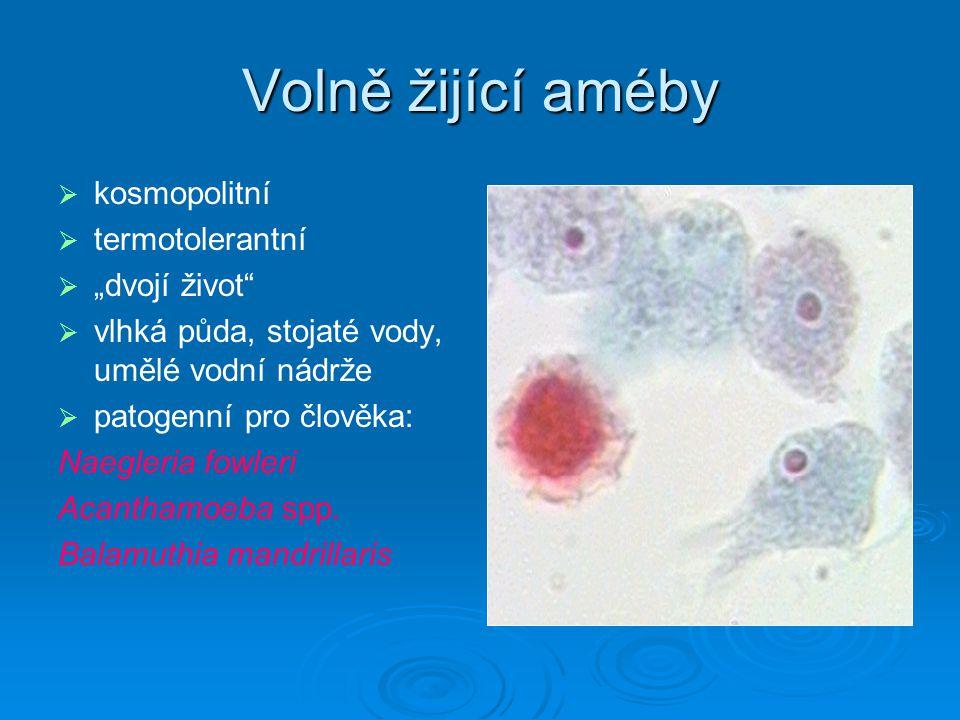 TOXOPLASMA GONDII   kosmopolitní výskyt   přenos- pozřením oocysty vyloučené kočkou, pozřením nedostatečně tepelně upraveného masa, transplacentárně, transplantace orgánů   klinika- 80-90%infekcí mimo graviditu asymptom.nebo benigní průběh zduření mízních uzlin na krku a šíji nebo celková lymfaddenitis, horečka, bolest hlavy, svalů, únavnost, výjimečně výrazné symptomy, makulopapulózní vyrážka, hepatitida, encefalitida, myokarditida