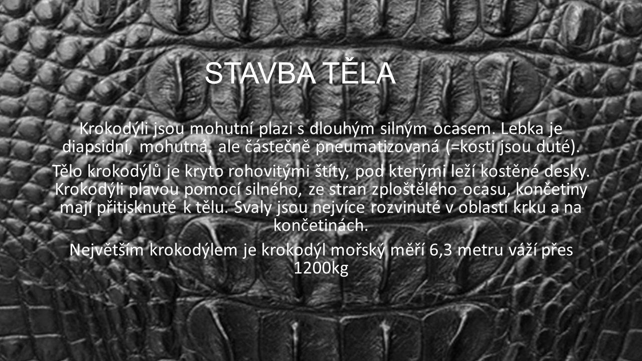 STAVBA TĚLA Krokodýli jsou mohutní plazi s dlouhým silným ocasem. Lebka je diapsidní, mohutná, ale částečně pneumatizovaná (=kosti jsou duté). Tělo kr