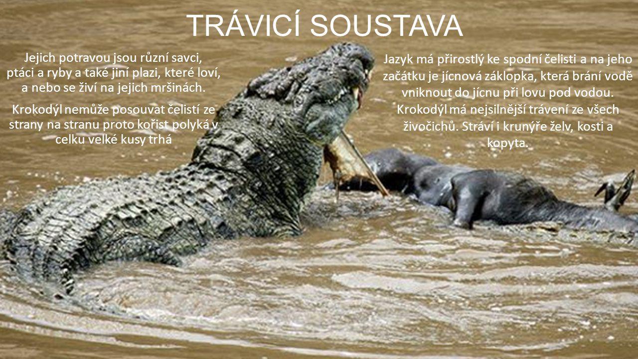 TRÁVICÍ SOUSTAVA Jejich potravou jsou různí savci, ptáci a ryby a také jiní plazi, které loví, a nebo se živí na jejich mršinách. Krokodýl nemůže poso