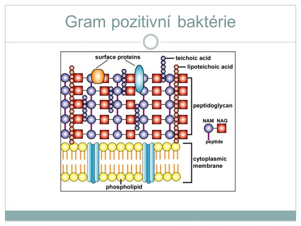 Gram pozitivní baktérie
