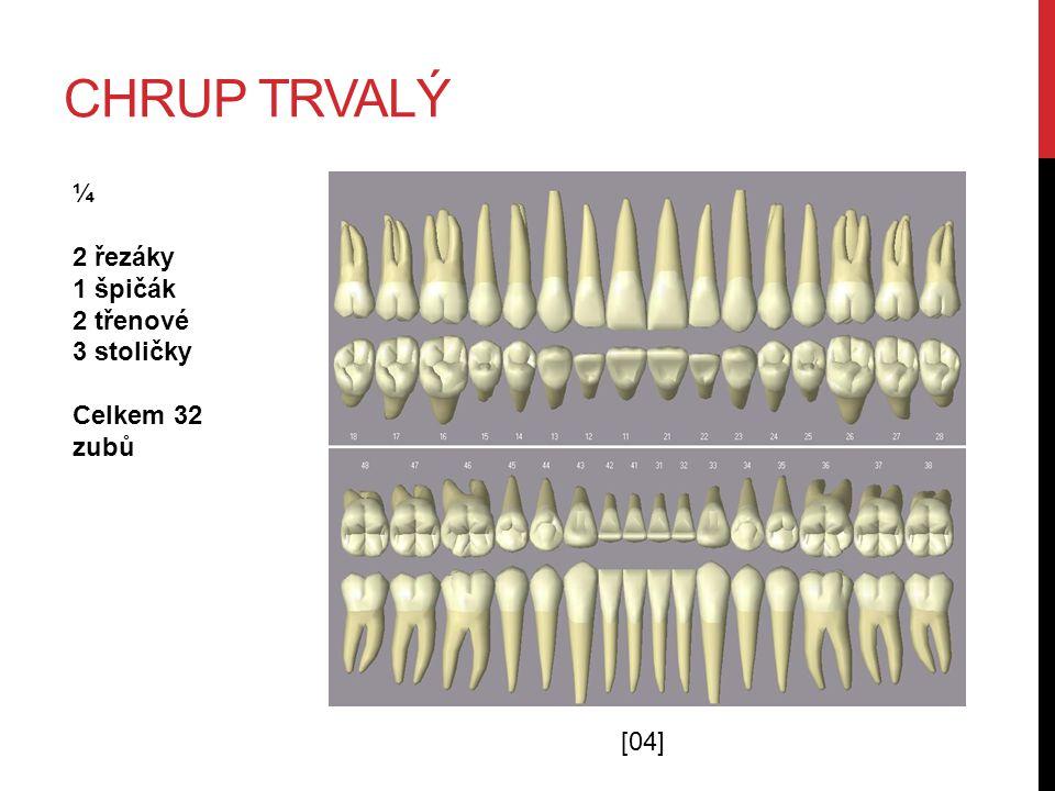 CHRUP TRVALÝ [04] ¼ 2 řezáky 1 špičák 2 třenové 3 stoličky Celkem 32 zubů