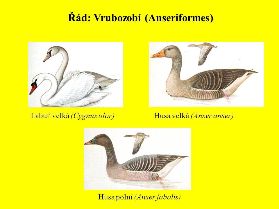 Řád: Vrubozobí (Anseriformes) Labuť velká (Cygnus olor)Husa velká (Anser anser) Husa polní (Anser fabalis)