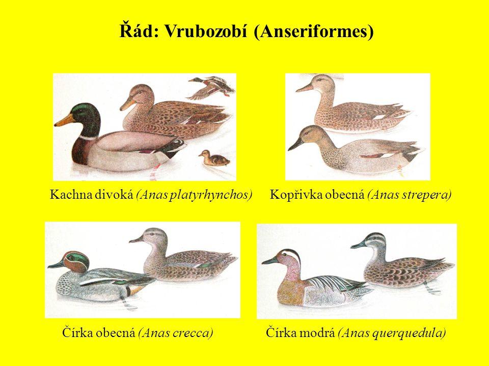 Řád: Vrubozobí (Anseriformes) Kachna divoká (Anas platyrhynchos)Kopřivka obecná (Anas strepera) Čírka obecná (Anas crecca)Čírka modrá (Anas querquedul