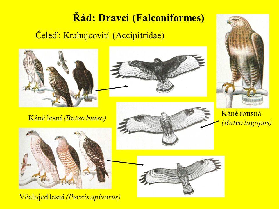 Řád: Dravci (Falconiformes) Čeleď: Krahujcovití (Accipitridae) Káně lesní (Buteo buteo) Káně rousná (Buteo lagopus) Včelojed lesní (Pernis apivorus)