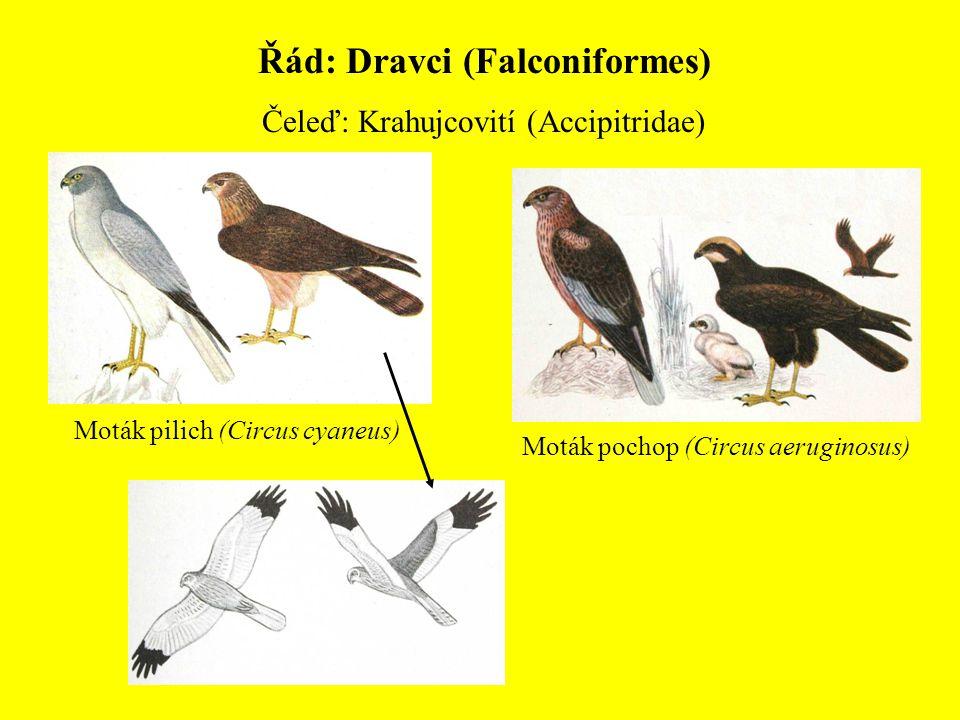 Řád: Dravci (Falconiformes) Čeleď: Krahujcovití (Accipitridae) Moták pochop (Circus aeruginosus) Moták pilich (Circus cyaneus)