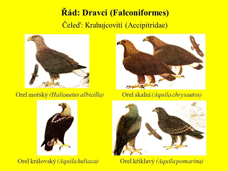 Řád: Dravci (Falconiformes) Čeleď: Krahujcovití (Accipitridae) Orel mořský (Haliaeetus albicilla) Orel křiklavý (Aquila pomarina) Orel skalní (Aquila