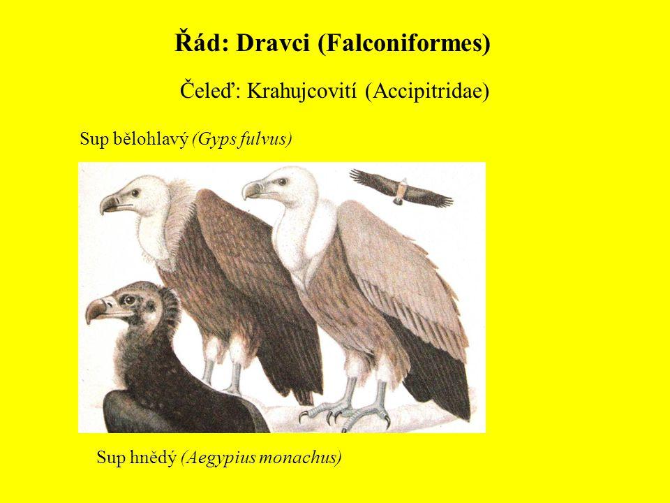 Řád: Dravci (Falconiformes) Čeleď: Krahujcovití (Accipitridae) Sup bělohlavý (Gyps fulvus) Sup hnědý (Aegypius monachus)