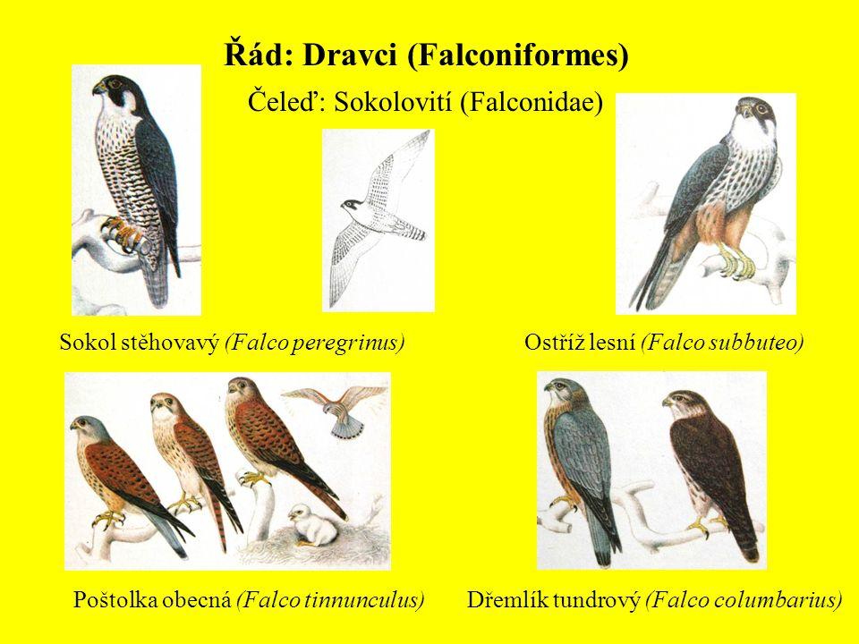 Řád: Dravci (Falconiformes) Čeleď: Sokolovití (Falconidae) Sokol stěhovavý (Falco peregrinus)Ostříž lesní (Falco subbuteo) Poštolka obecná (Falco tinn
