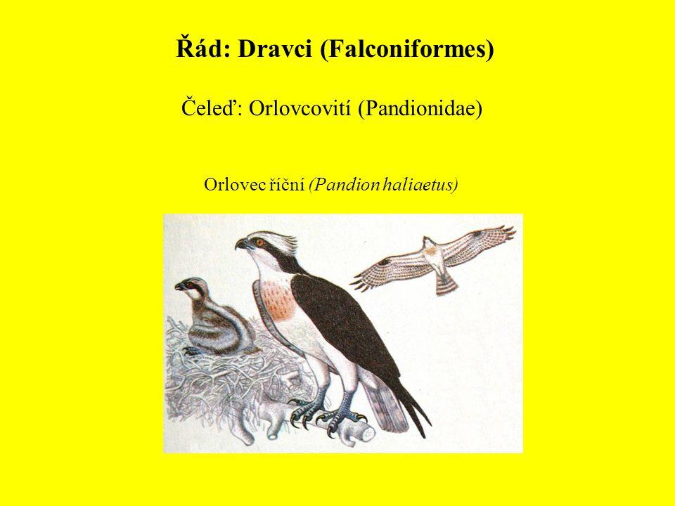 Řád: Dravci (Falconiformes) Čeleď: Orlovcovití (Pandionidae) Orlovec říční (Pandion haliaetus)