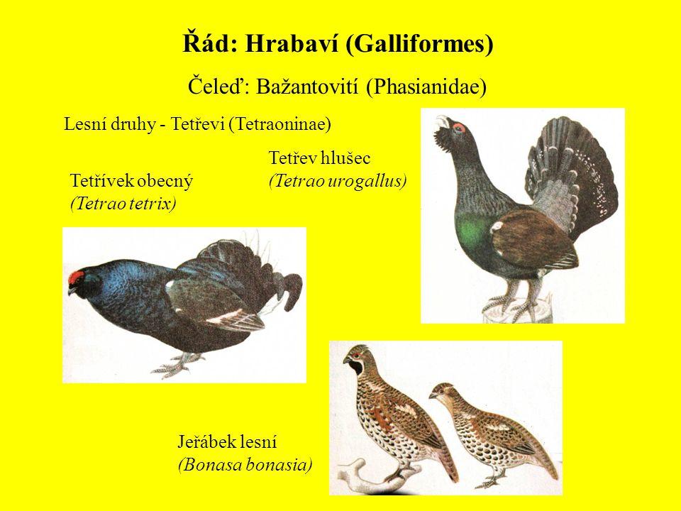 Řád: Hrabaví (Galliformes) Čeleď: Bažantovití (Phasianidae) Lesní druhy - Tetřevi (Tetraoninae) Tetřev hlušec (Tetrao urogallus) Tetřívek obecný (Tetr