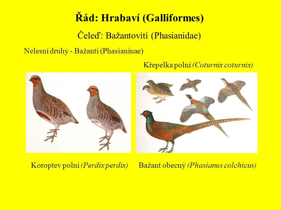 Řád: Hrabaví (Galliformes) Čeleď: Bažantovití (Phasianidae) Nelesní druhy - Bažanti (Phasianinae) Koroptev polní (Perdix perdix) Křepelka polní (Cotur