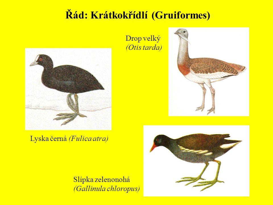 Řád: Krátkokřídlí (Gruiformes) Drop velký (Otis tarda) Slípka zelenonohá (Gallinula chloropus) Lyska černá (Fulica atra)