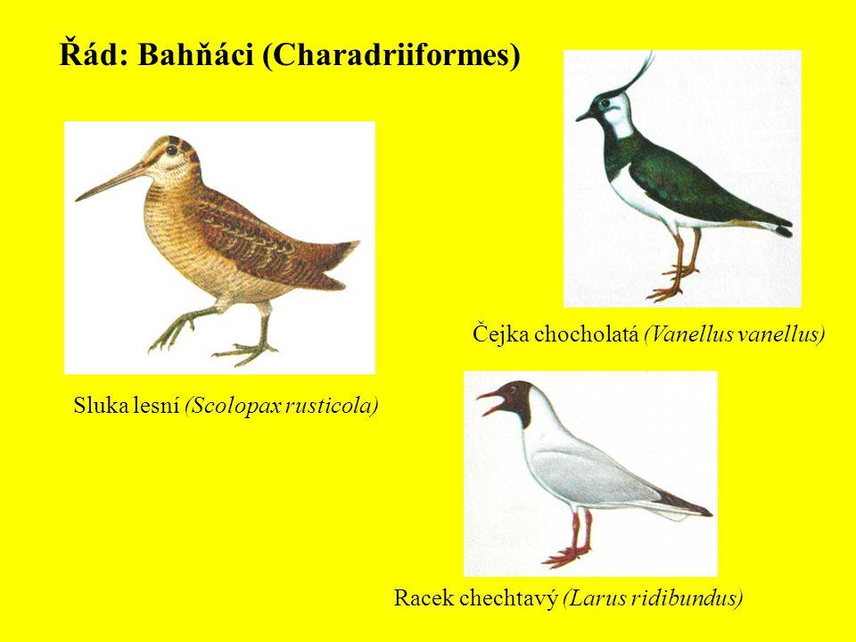 Řád: Bahňáci (Charadriiformes) Čejka chocholatá (Vanellus vanellus) Sluka lesní (Scolopax rusticola) Racek chechtavý (Larus ridibundus)
