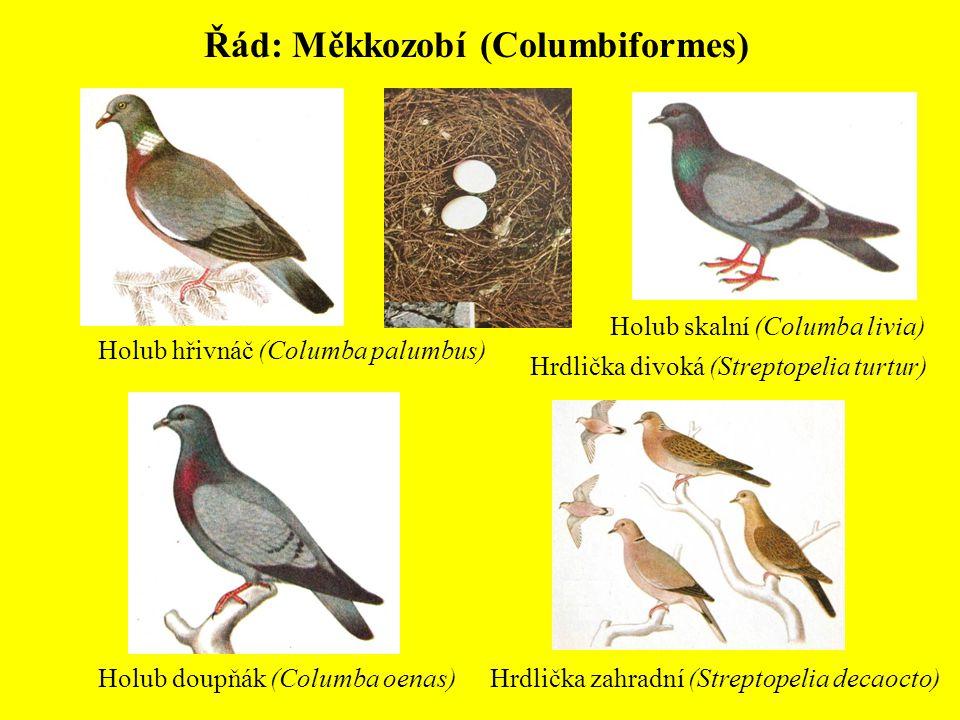 Řád: Měkkozobí (Columbiformes) Holub skalní (Columba livia) Holub hřivnáč (Columba palumbus) Holub doupňák (Columba oenas) Hrdlička divoká (Streptopel