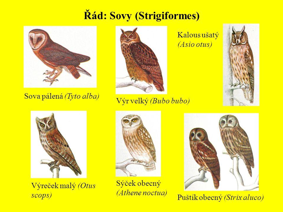 Řád: Sovy (Strigiformes) Sova pálená (Tyto alba) Výr velký (Bubo bubo) Kalous ušatý (Asio otus) Puštík obecný (Strix aluco) Sýček obecný (Athene noctu