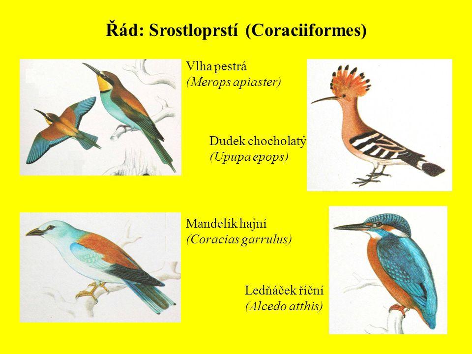 Řád: Srostloprstí (Coraciiformes) Ledňáček říční (Alcedo atthis) Vlha pestrá (Merops apiaster) Dudek chocholatý (Upupa epops) Mandelík hajní (Coracias