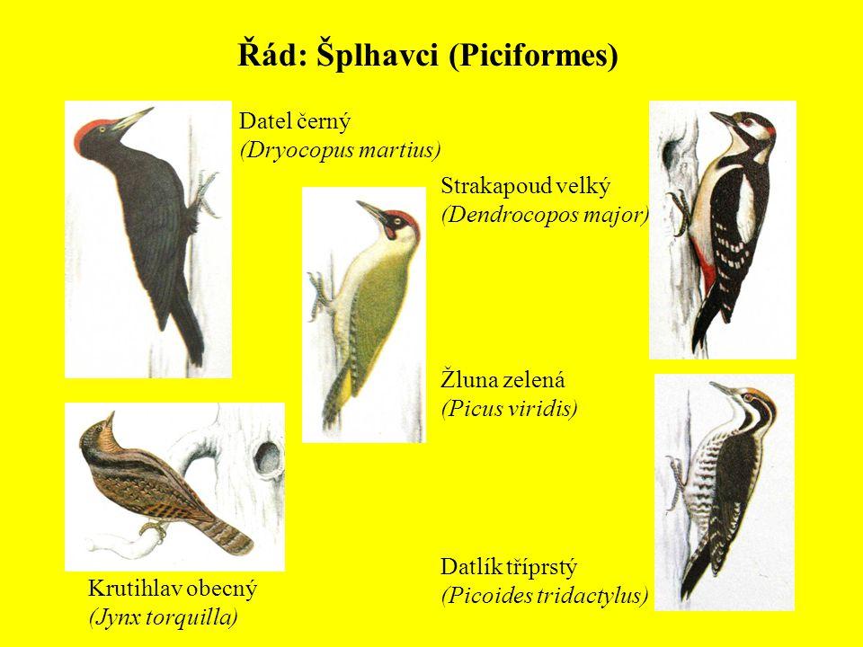 Řád: Šplhavci (Piciformes) Datel černý (Dryocopus martius) Strakapoud velký (Dendrocopos major) Žluna zelená (Picus viridis) Datlík tříprstý (Picoides