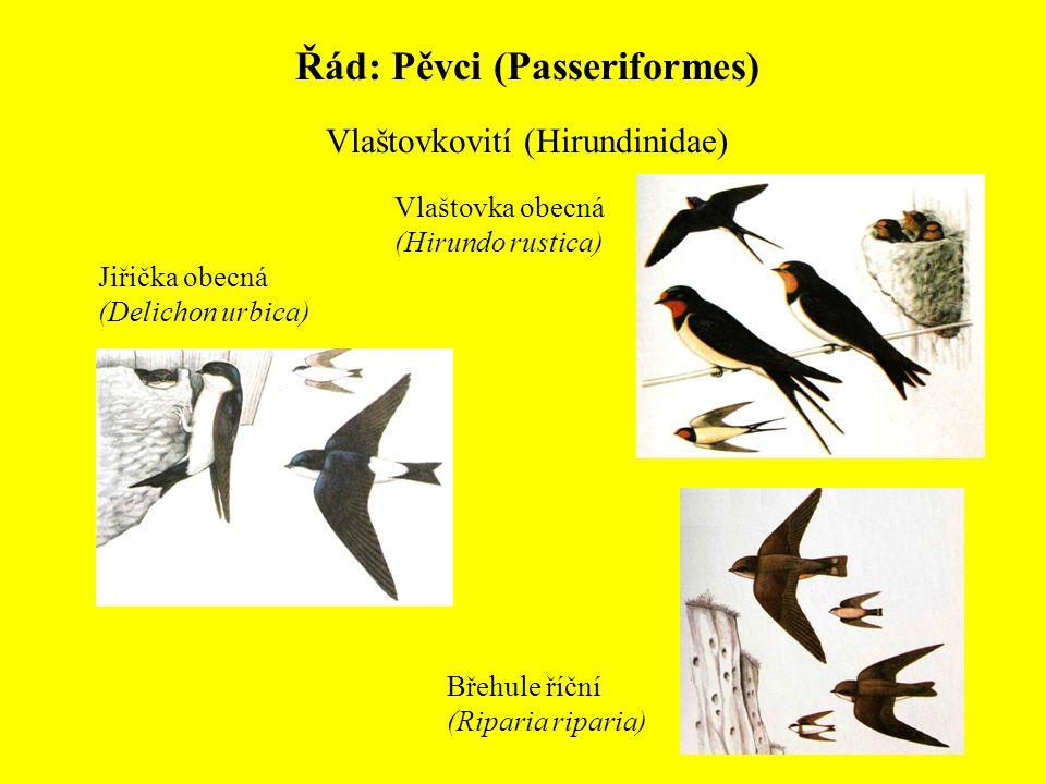 Řád: Pěvci (Passeriformes) Vlaštovkovití (Hirundinidae) Vlaštovka obecná (Hirundo rustica) Jiřička obecná (Delichon urbica) Břehule říční (Riparia rip